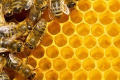 Abeilles sur le nid d'abeilles image stock