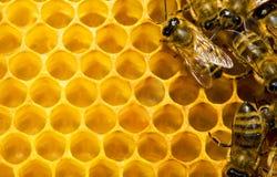 Abeilles sur le nid d'abeilles Photos stock