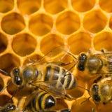 Abeilles sur le nid d'abeilles Images libres de droits