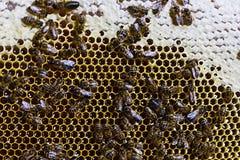 Abeilles sur le nid d'abeilles avec du miel Photo stock