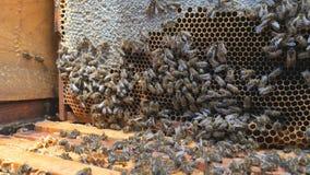 Abeilles sur le nid d'abeilles Abeilles au milieu de la ruche banque de vidéos