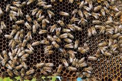 Abeilles sur le nid d'abeilles avec l'utérus d'abeille Image stock