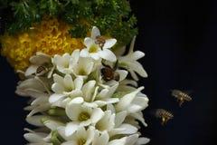 Abeilles sur les fleurs blanches, plan rapproché, maharashtra, Inde images libres de droits