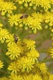 Abeilles sur les fleurs jaunes avec une tache floue de fond Image stock