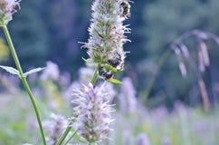 Abeilles sur une mauvaise herbe Photo libre de droits