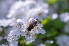 Abejón, chupando el néctar de las flores del espino Fotos de archivo