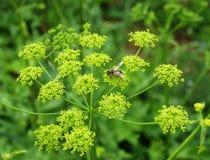 Abejón en flores verdes Imagen de archivo libre de regalías
