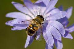 Abejón en una flor Fotos de archivo libres de regalías