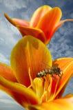 Abeja. Foto de archivo libre de regalías