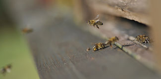 abeja Foto de archivo