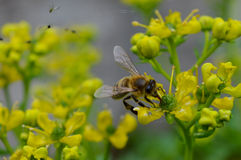 abeja Imágenes de archivo libres de regalías
