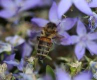 abeja Imagen de archivo libre de regalías