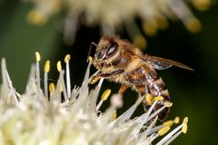 Abeja, abeja Foto de archivo libre de regalías