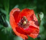 Abeja - abeja en el primer de la flor de la amapola Foto de archivo