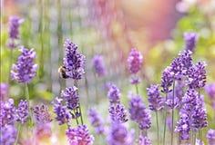 Abeja - abeja en la flor de la lavanda Fotos de archivo libres de regalías