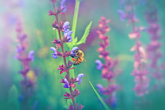 Abeja - abeja en la flor púrpura Foto de archivo
