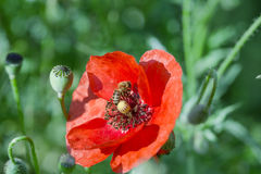 Abeja - abeja en la flor roja de la amapola Imagenes de archivo