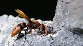 Abeja, abeja hermosa Fotografía de archivo