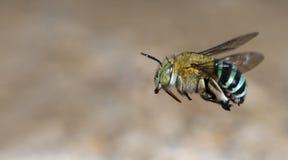 Abeja, abeja hermosa Imagen de archivo