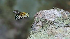 Abeja, abeja hermosa Foto de archivo libre de regalías