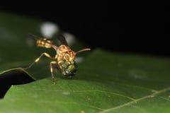Abeja, abeja hermosa Fotos de archivo