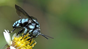 Abeja, abeja hermosa Imágenes de archivo libres de regalías