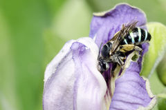 Abeja, abeja hermosa, avispa del cuco Imagen de archivo libre de regalías