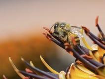 Abeja africana de la miel en tallo Imágenes de archivo libres de regalías
