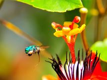 Abeja (Agapostemon) y flor (pasionaria) Imagenes de archivo