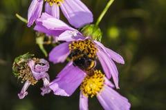 Abeja al revés en la flor Imagenes de archivo
