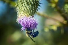 Abeja al revés en una flor Foto de archivo libre de regalías
