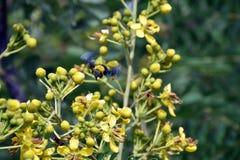 Abeja amarilla del amarillo de la flor Foto de archivo libre de regalías