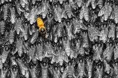 Abeja amarilla en fondo negro Fotografía de archivo