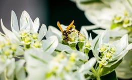 Abeja amarilla en la flor blanca Foto de archivo