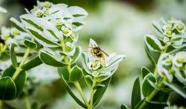 Abeja amarilla en la flor blanca Imágenes de archivo libres de regalías