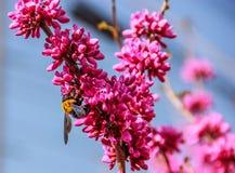 Abeja amarilla grande que se aferra en las flores rosadas Imagen de archivo libre de regalías