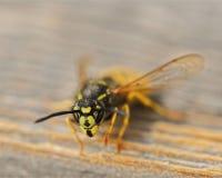 Abeja amarilla hermosa divertida en una tabla de madera Fotografía de archivo