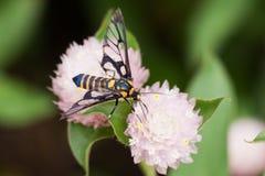 Abeja amarilla negra que recoge el néctar de la miel de la flor redonda rosada Imagen de archivo libre de regalías