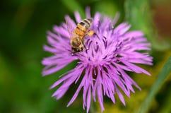 Abeja amarilla que recoge el polen de la flor Fotos de archivo
