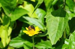 Abeja anaranjada y negra salvaje, de la avispa-línea en un amarillo margarita-como wildflower en Krabi, Tailandia Fotografía de archivo