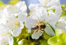 Abeja Anthophila durante la cosecha del néctar de Cerasus del cerezo Foto de archivo libre de regalías