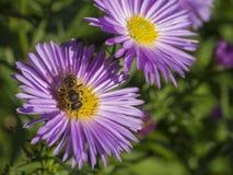 Abeja ascendente cercana de la miel de la macro en la flor rosada hermosa de la margarita Fotografía de archivo libre de regalías