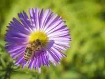 Abeja ascendente cercana de la miel de la macro en la flor rosada hermosa de la margarita Imagen de archivo