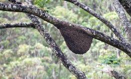 Abeja asiática de la miel, abeja del este de la miel Fotografía de archivo libre de regalías