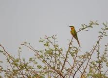 - Abeja atada - pájaro azul del comedor Imagen de archivo libre de regalías