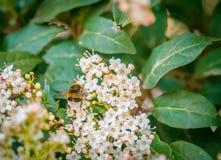 Abeja, avispa, avispón en la flor, mosca en la cámara lenta, primer VI Imagenes de archivo