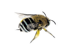abeja Azul-congregada, cingulata de Amegilla Fotos de archivo libres de regalías