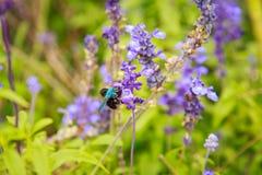 Abeja azul del ala en la flor de la lavanda Imagen de archivo