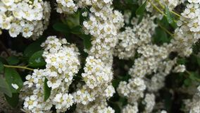 Abeja blanca del verano de la flor pequeña Fotos de archivo