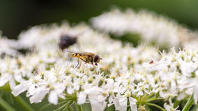 Abeja británica B que sorbe a Nectar From The Flower Fotografía de archivo
